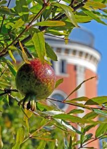 Granatapfel am Elisenturm im Botanischen Garten Wuppertal / Foto: Prof. Dr. Manfred Brusten